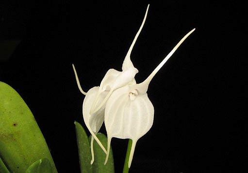 orchidej masdevallia