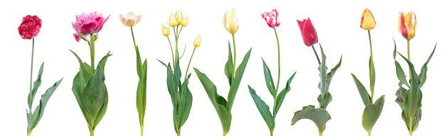 Nabídka tulipánů je velmi široká nejen v barvách, ale i tvarech.