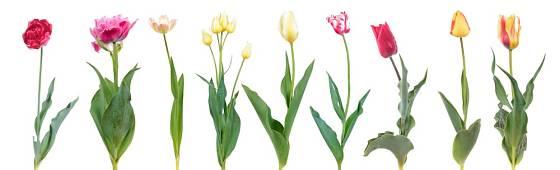 Nabídka tulipánů je velmi široká nejen v barvách, ale i tvarech květů.
