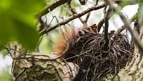 veverčí příbytek ve větvích - v létě je ještě nezateplený
