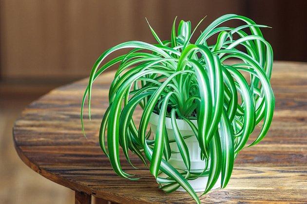 zelenec (Clorophytum) jej jednou z nějvděčnějších pokojových rostlin