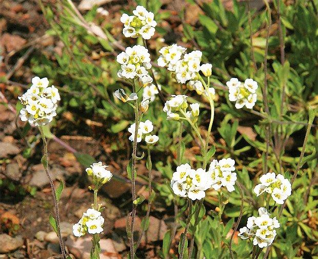 Draba magellanica