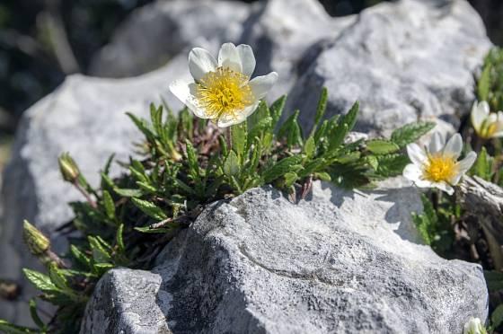 Dryádka osmiplátečná (Dryas octopetala) patří k oblíbeným skalničkám.