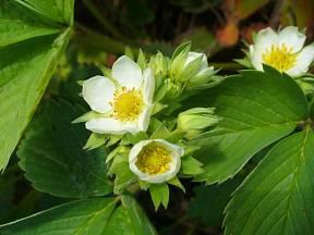 Květy jahodníku.