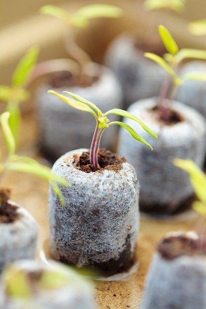 Rajčata vysetá do rašelinových tablet