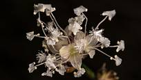 Kalísie kvete drobnými bílými hrozny vonících květů.