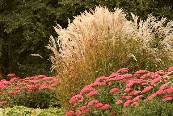 Ozdobnice se, podobně jako většina trav, skvěle vyjímá spolu s kvetoucími trvalkami