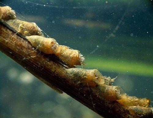 Proč muchničky zbožňují vlhko? Její larvy ke svému vývoji vyžadují čistou tekoucí vodu.