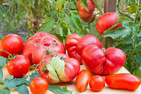 Různě deformované plody rajčat.