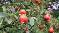 Růže dužnoplodá (Rosa villosa), odrůda Karpatia
