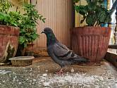 Pokud dbáte o vzhled okolí vašeho bytu či domu, hnízdící ptáci nejsou vítáni.