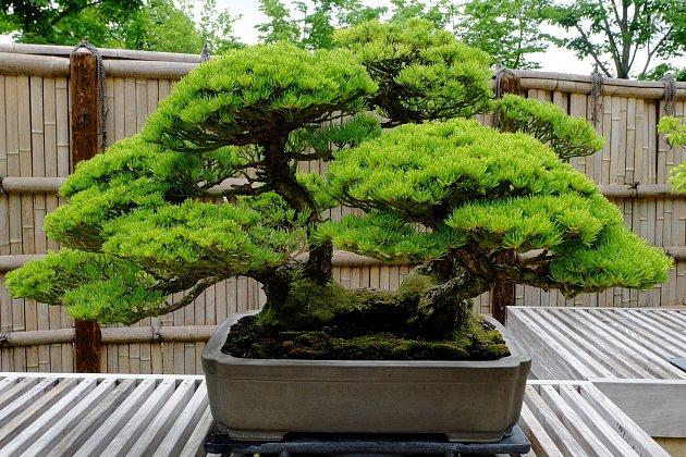 Bonsaje mají vypadat jako miniatury starých stromů.