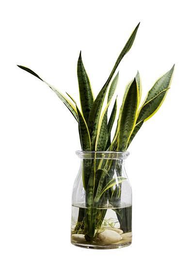 Tchýnin jazyk (Sansevieria trifasciata) spolehlivě zakoření i ve vodě.