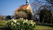 Trsy kvetoucích narcisů, v pozadí kostel sv. Kláry.