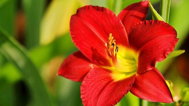 Květ denivky.