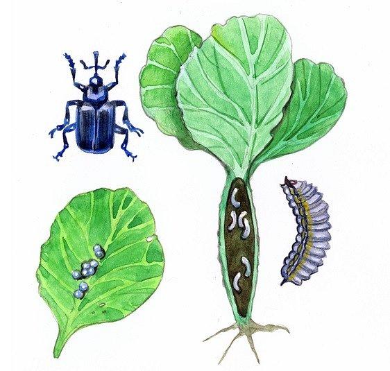 Zeleninu ožírají jak dospělci, tak larvy dřepčíků