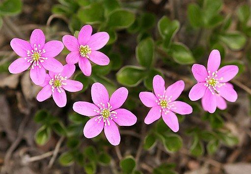 jaterník podléška (Hepatica nobilis) - růžový