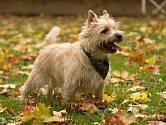 Kernteriér je hbitý a dovádivý pes.