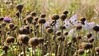 Suchá květenství monardy ozdobí záhony i v zimě, sestřihnout je můžeme až zjara