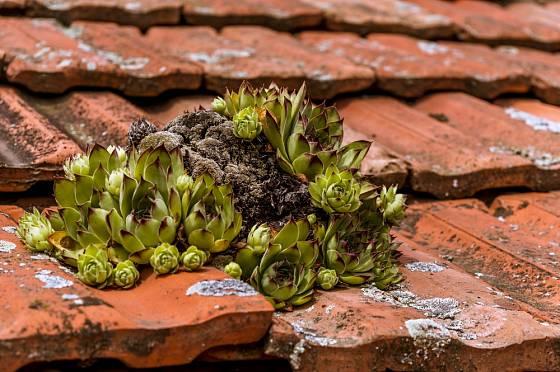 Netřesk střešní - tradiční a nenáročná ozdoba starých střech.