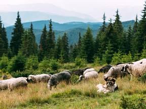 Pes hlídá stádo ovcí v lesnatém terénu.