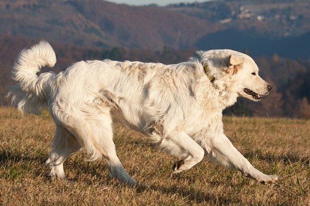 Beskydský bundáš byl podle pověsti výborný ovčák, ale špatný hlídač.