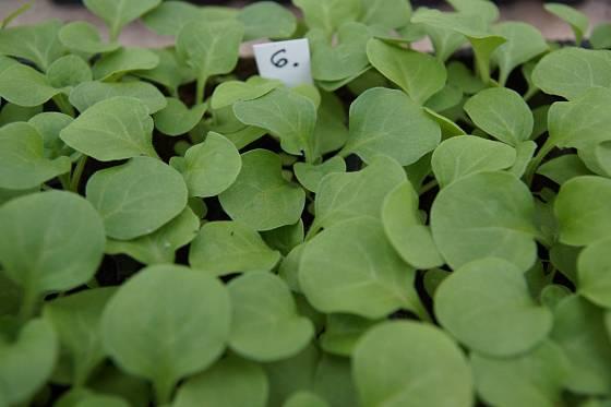 Semenáčky letniček včas přepícháme do sadbovačů