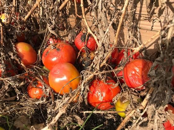 Úroda rajčat zničená přízemními mrazíky.