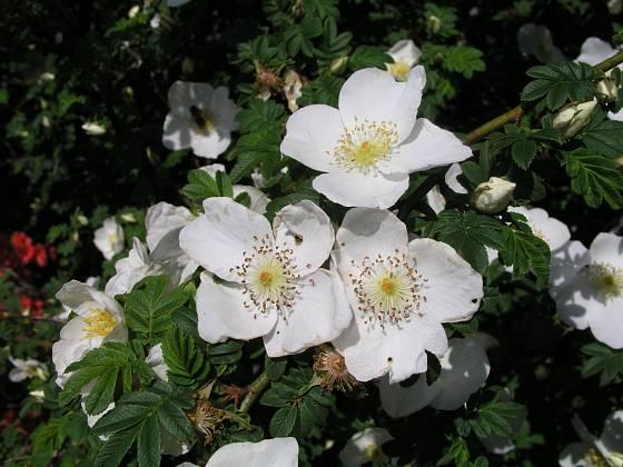 růže omejská neboli hedvábitá, Rosa omeiensis