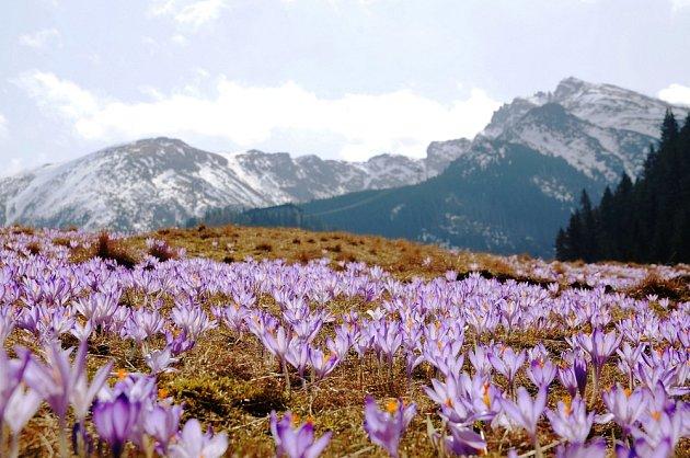 Krokusy rostou hlavně v Malé Asii, dále ve Středozemí, na Kavkaze, v severní Africe