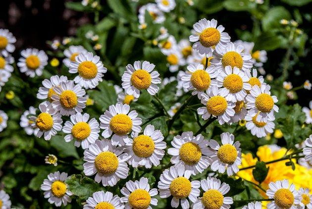Chryzantéma obsahuje chemikálii s názvem pyrethrum a jedná se o neurotoxiny působící na nervový systém veškerého hmyzu.