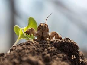 Krtonožka je něco mezi hmyzem a krtkem. A je velmi hlučná!