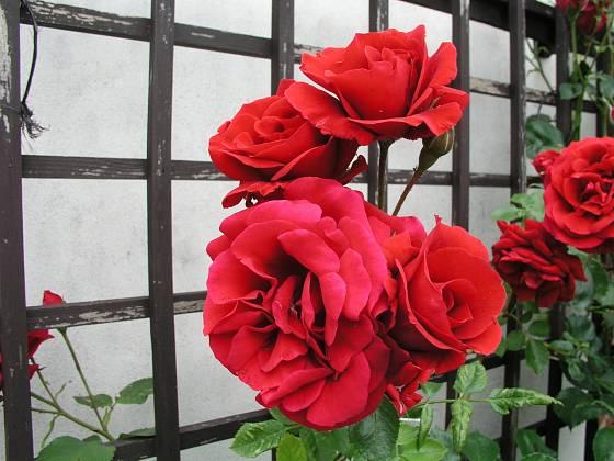 Sympathie (Kordes, Německo, 1964). Má sytě červené květy velké asi 9 cm; výška růže 3 m. Opakovaně kvetoucí