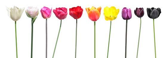 Škála barev květů tulipánů je opravdu široká.