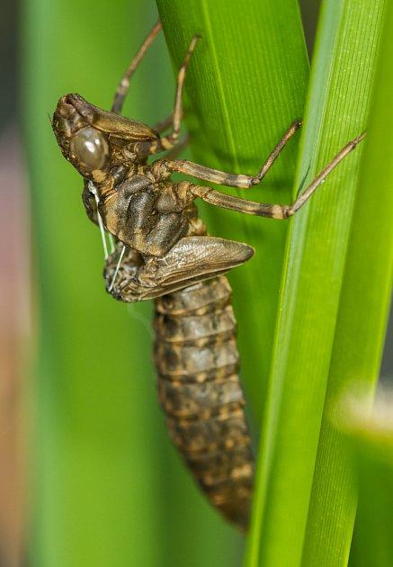 Svlečka po vylíhlé larvě vážky