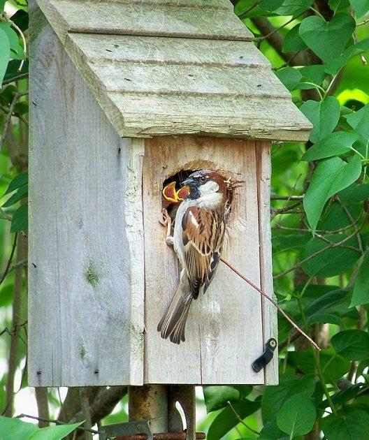 I vrabci nosí svým mladým hmyz, i když jinak vyhledávají spíše semena
