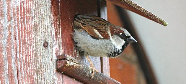 Vrabci jsou hluční, veselí a společenští nájemníci