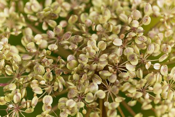 Semena všedobru horského (Imperatoria ostruthium)