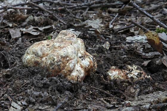Bělolanýž obecný (Choiromyces meandriformis) - jeho plodnice má nepravidelný tvar a připomíná bramboru.