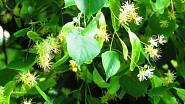 Lipové listy jsou vhodné nejen pro výrobu mulče, ale také kompostu z listí, tzv. listovky.