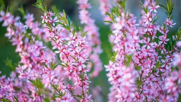 Mandloň nízká (Prunus tenella) kvete na loňských výhonech.h.
