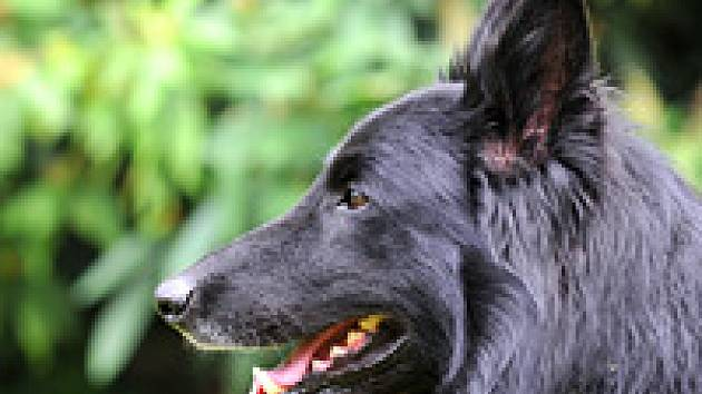 0829ceccaac Kavkazský pastevecký pes  dokonalý hlídač a rovnocenný partner - Psi ...