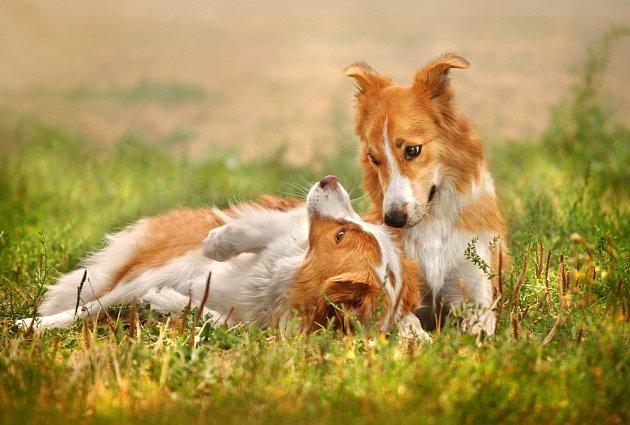 Border kolie je šťastná ve společnosti dalšího psa.