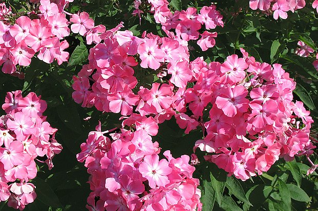 plamenka latnatá, květina našich babiček