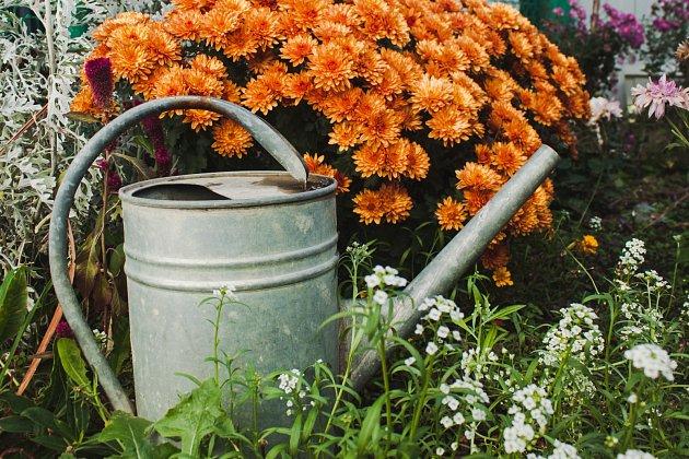 Jestliže chcete mít chryzantémy plné květů, vyžadují pravidelný přísun vody.