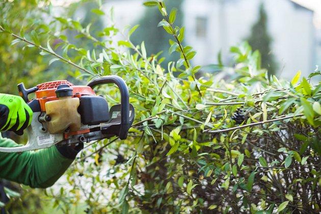 Zmlazovací střih živého plotu bývá komplikovaná záležitost.