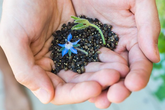 Domácí semenaření bylo kdysi běžné.
