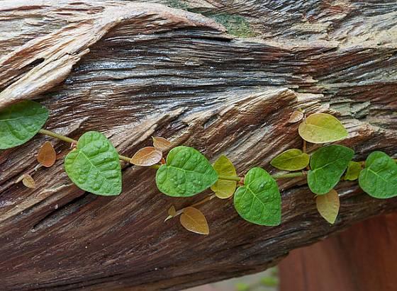 Fíkus droboučký (Ficus pumila)