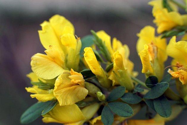 čimišník stromový, detail květu
