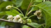 květy klanoprašky čínské
